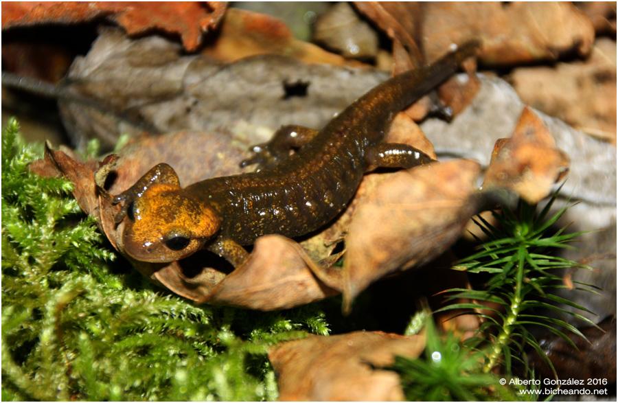 salamandra-salamandra-alfredschmidti-01