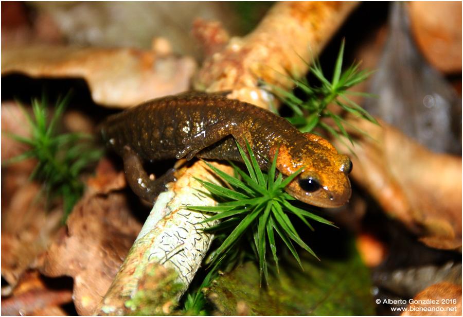 salamandra-salamandra-alfredschmidti-04