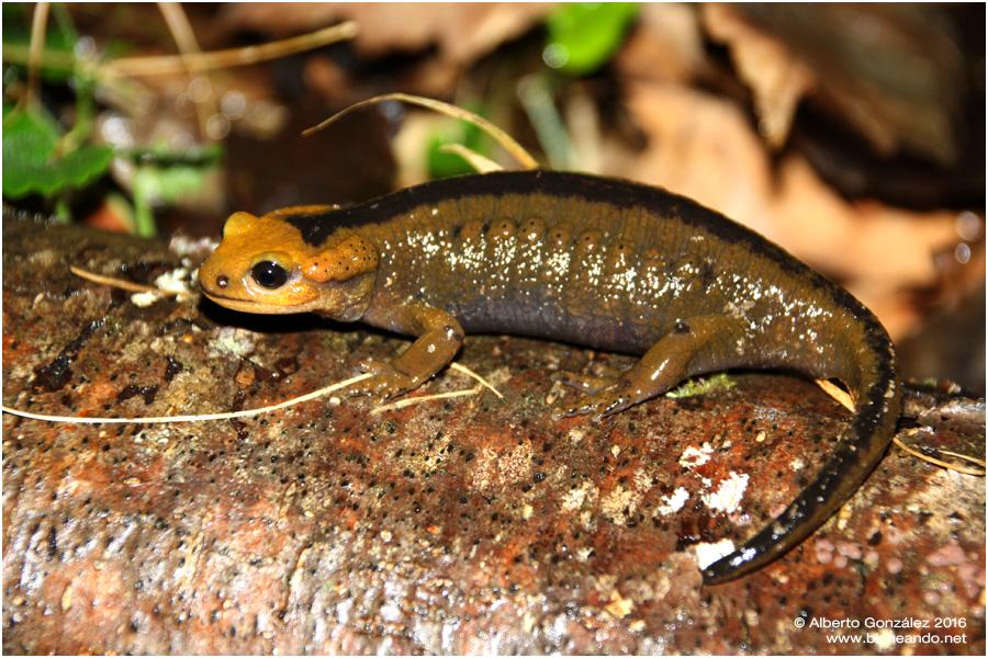 salamandra-salamandra-alfredschmidti-05