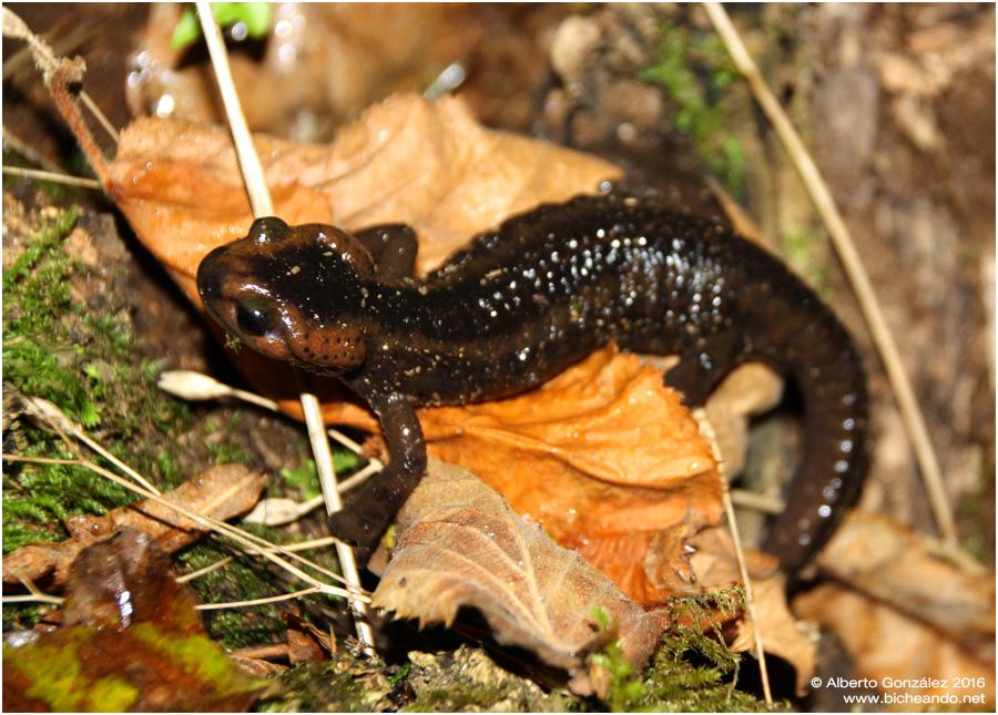 salamandra-salamandra-alfredschmidti-07