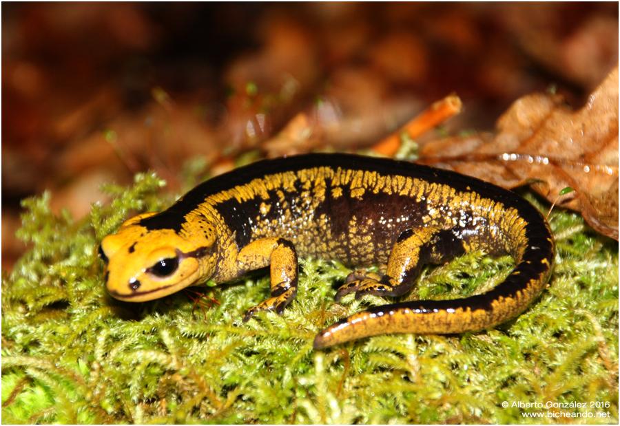 salamandra-salamandra-alfredschmidti-21