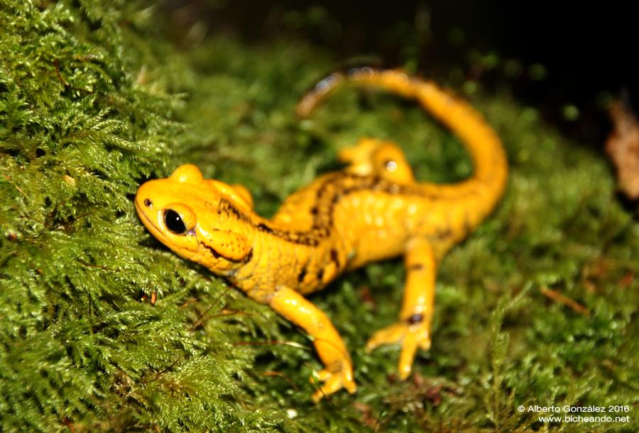salamandra-salamandra-alfredschmidti-23