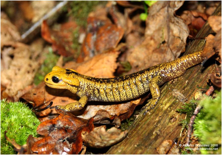 salamandra-salamandra-alfredschmidti-26