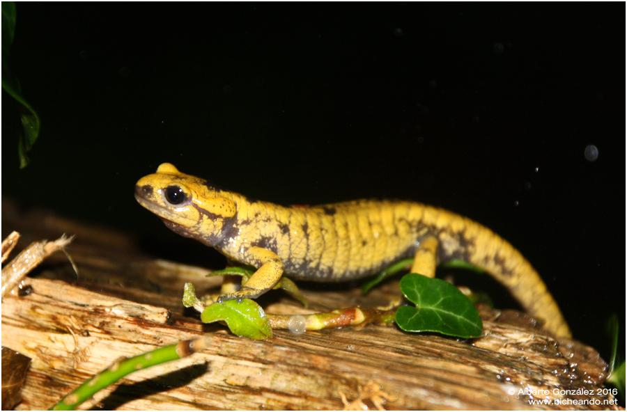 salamandra-salamandra-alfredschmidti-28