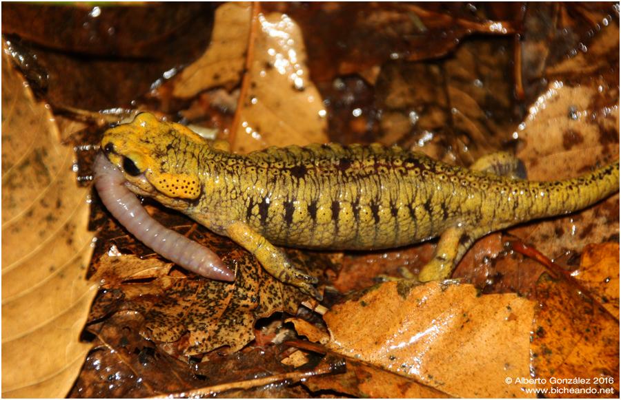salamandra-salamandra-alfredschmidti-29