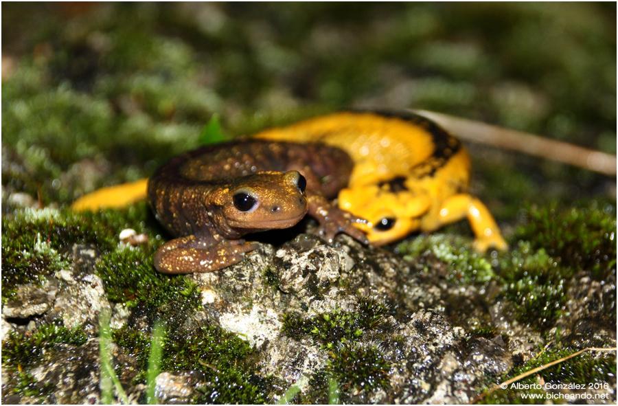 salamandra-salamandra-alfredschmidti-30