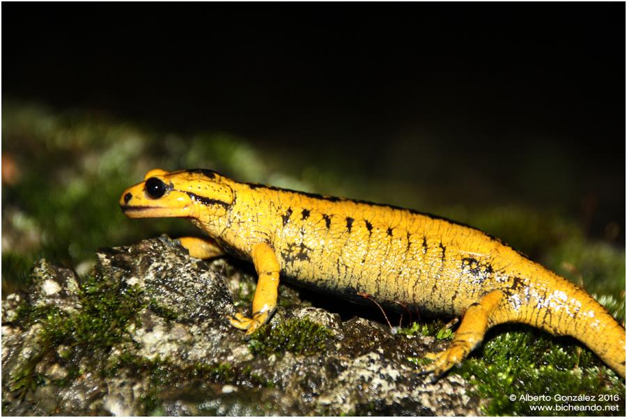 salamandra-salamandra-alfredschmidti-31
