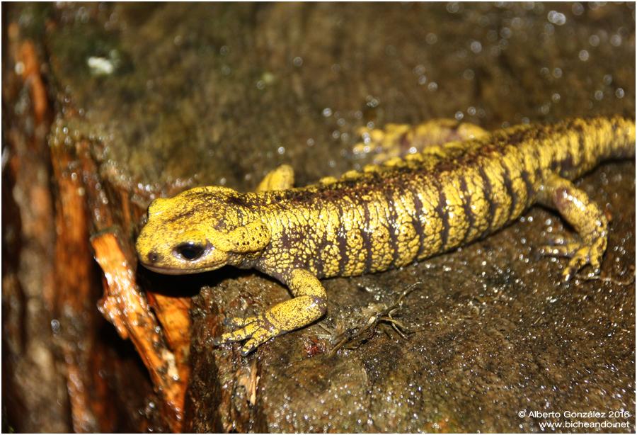 Salamandra s. alfredschmidti (Centro de Asturias)
