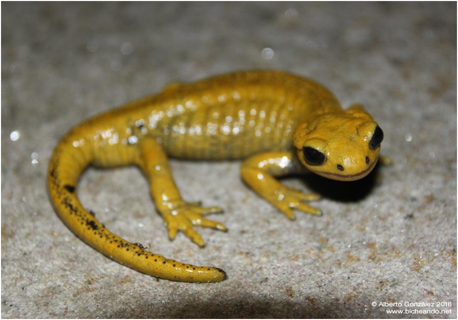 salamandra-salamandra-alfredschmidti-35b