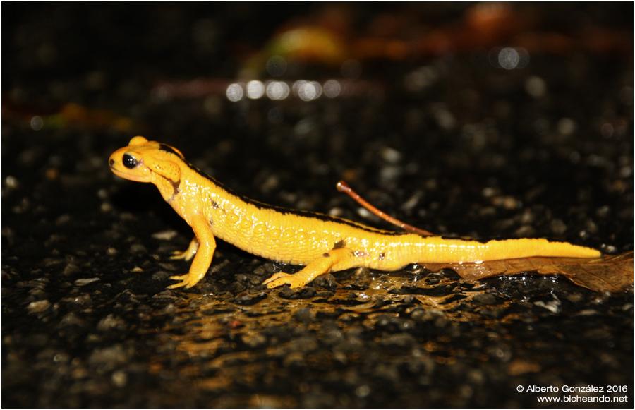salamandra-salamandra-alfredschmidti-36