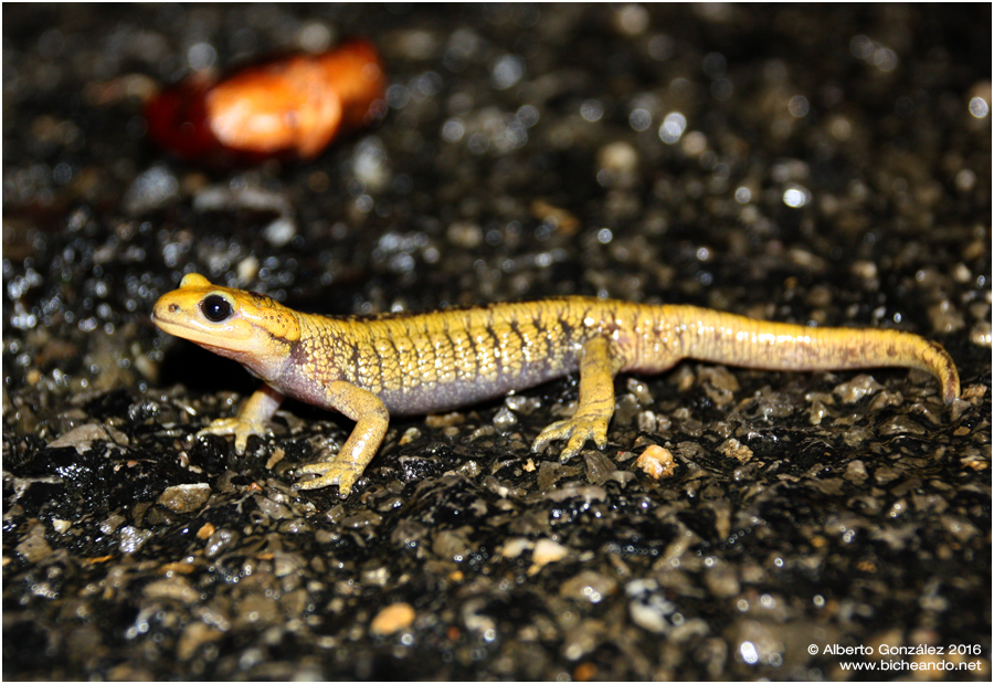 salamandra-salamandra-alfredschmidti-37