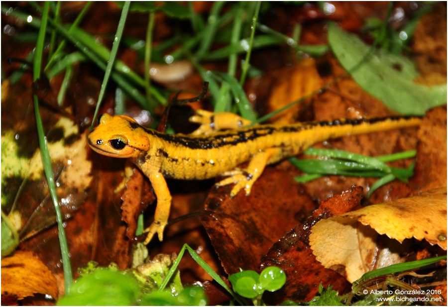 salamandra-salamandra-alfredschmidti primer plano