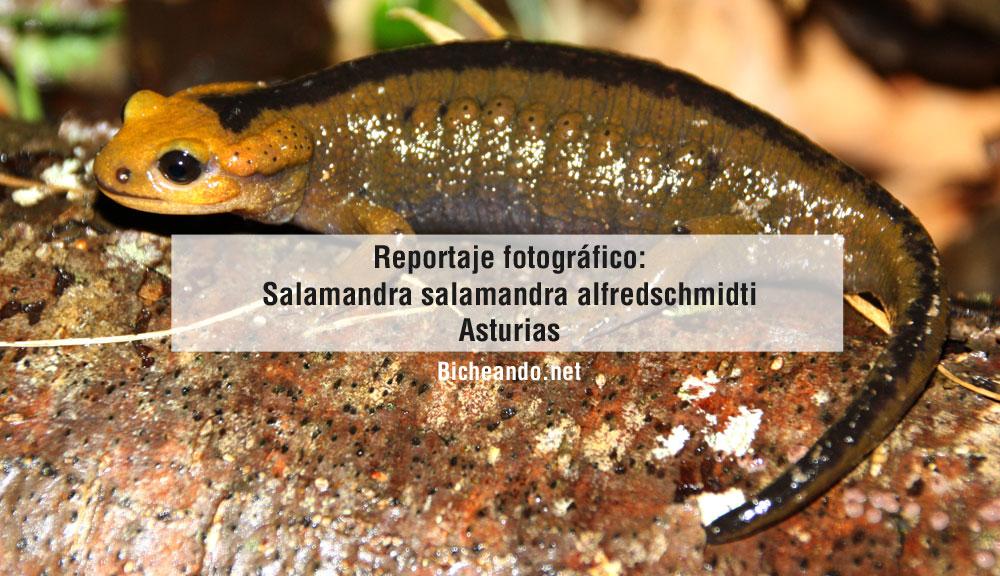 salamandra-salamandra-alfredschmidti