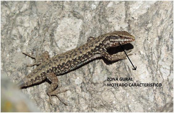 Lagartija roquera (Podarcis muralis)