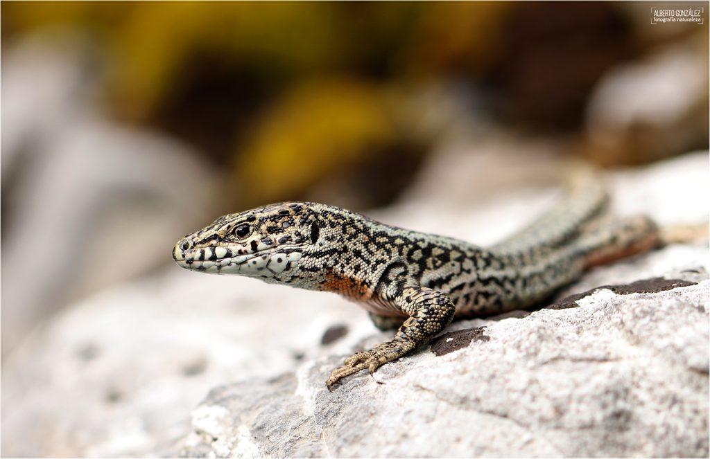 Lagartija parda (Podarcis-liolepis) en Urdos, Francia. Pirineos.