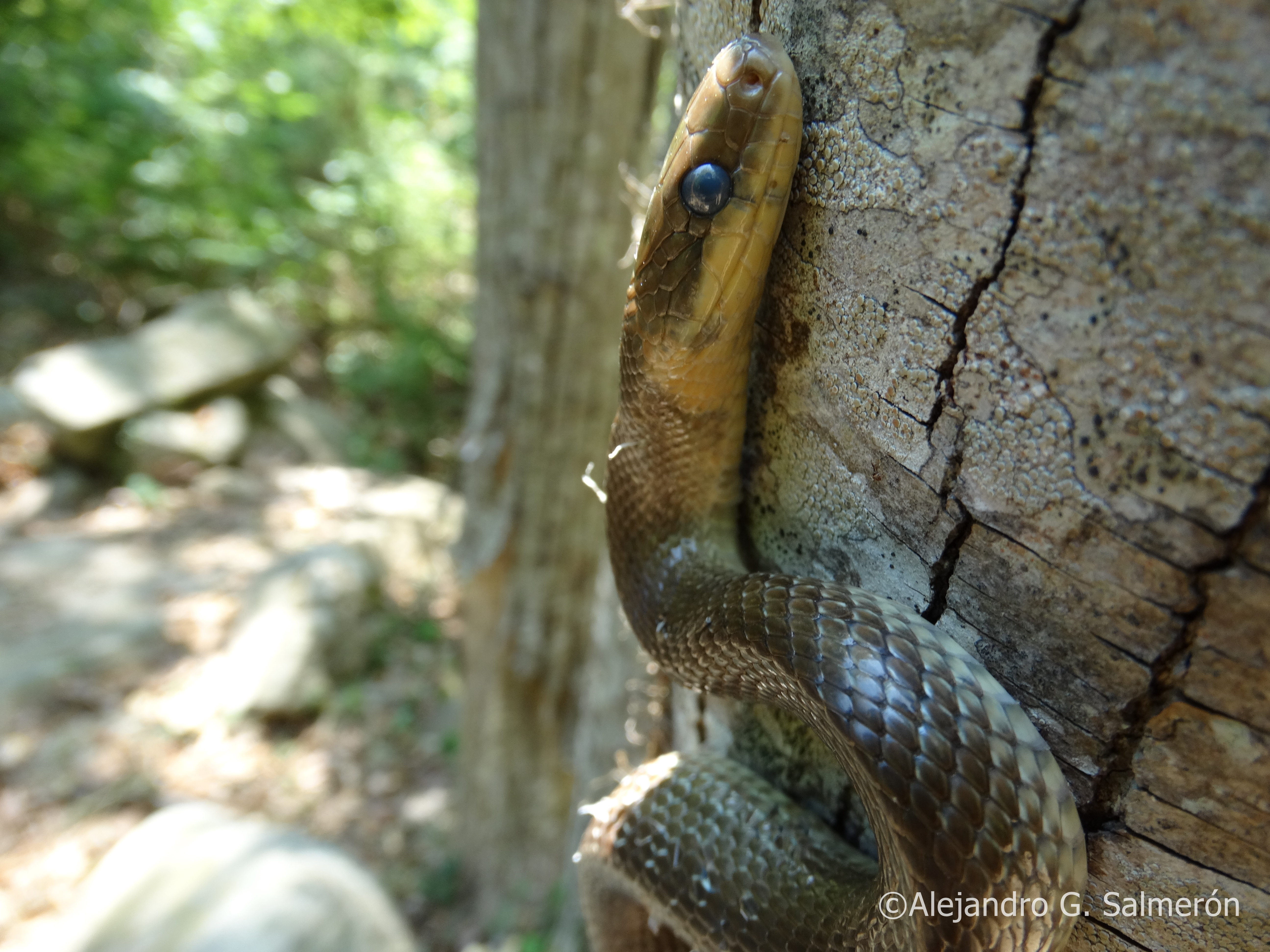 culebra de Esculapio (Zamenis longissimus)
