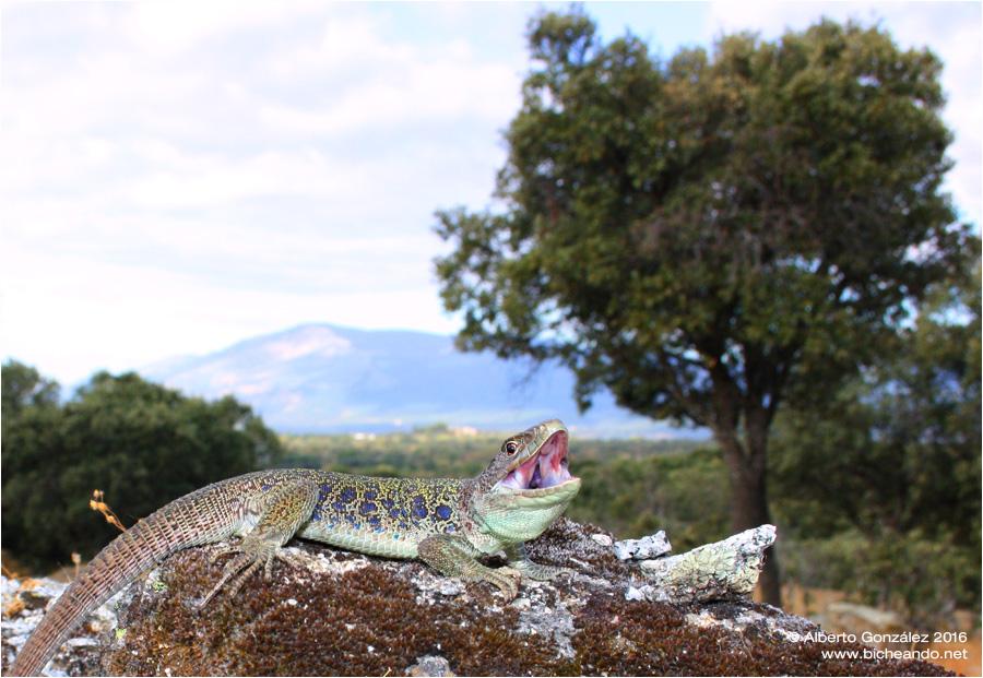 lagarto ocelado timon lepidus