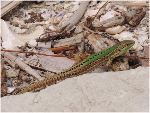 podarcis-sicules-lagartija-italiana