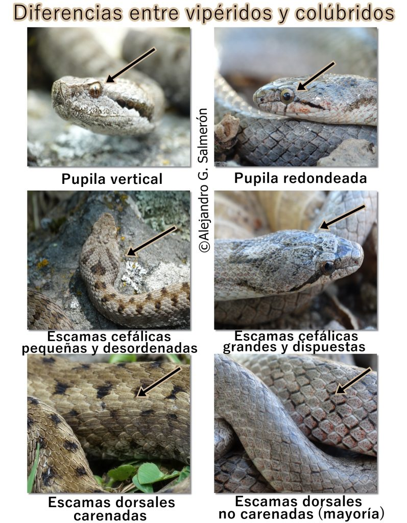 Diferencias entre vipéridos y colúbridos. Fotografias de una víbora áspid (Vipera aspis) y una cuebra lisa meridional (Coronella girondica).