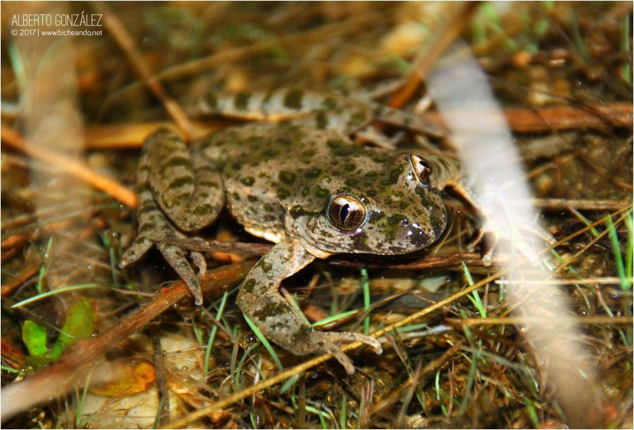 """P. punctatus (Madrid) que ahora pasa a denominarse """"P. hespericus"""""""
