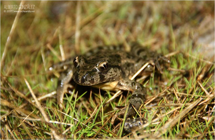 pelodytes-punctatus-Sapillo-moteado-común-01