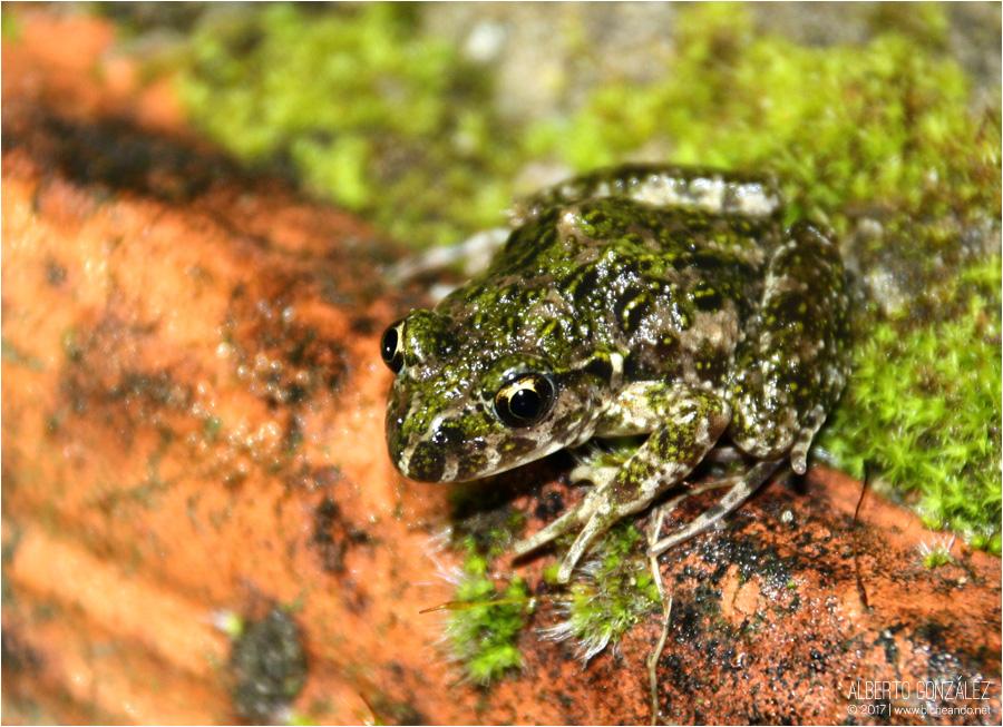 sapillo moteado comun pelodytes punctatus