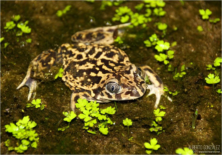 sapo de espuelas anfibios de portugal