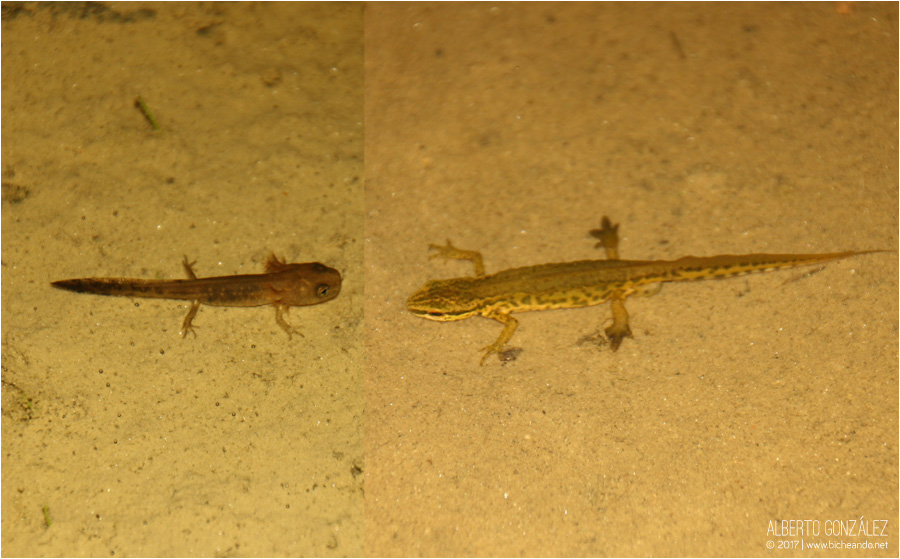 Larva y adulto de tritón palmeado...