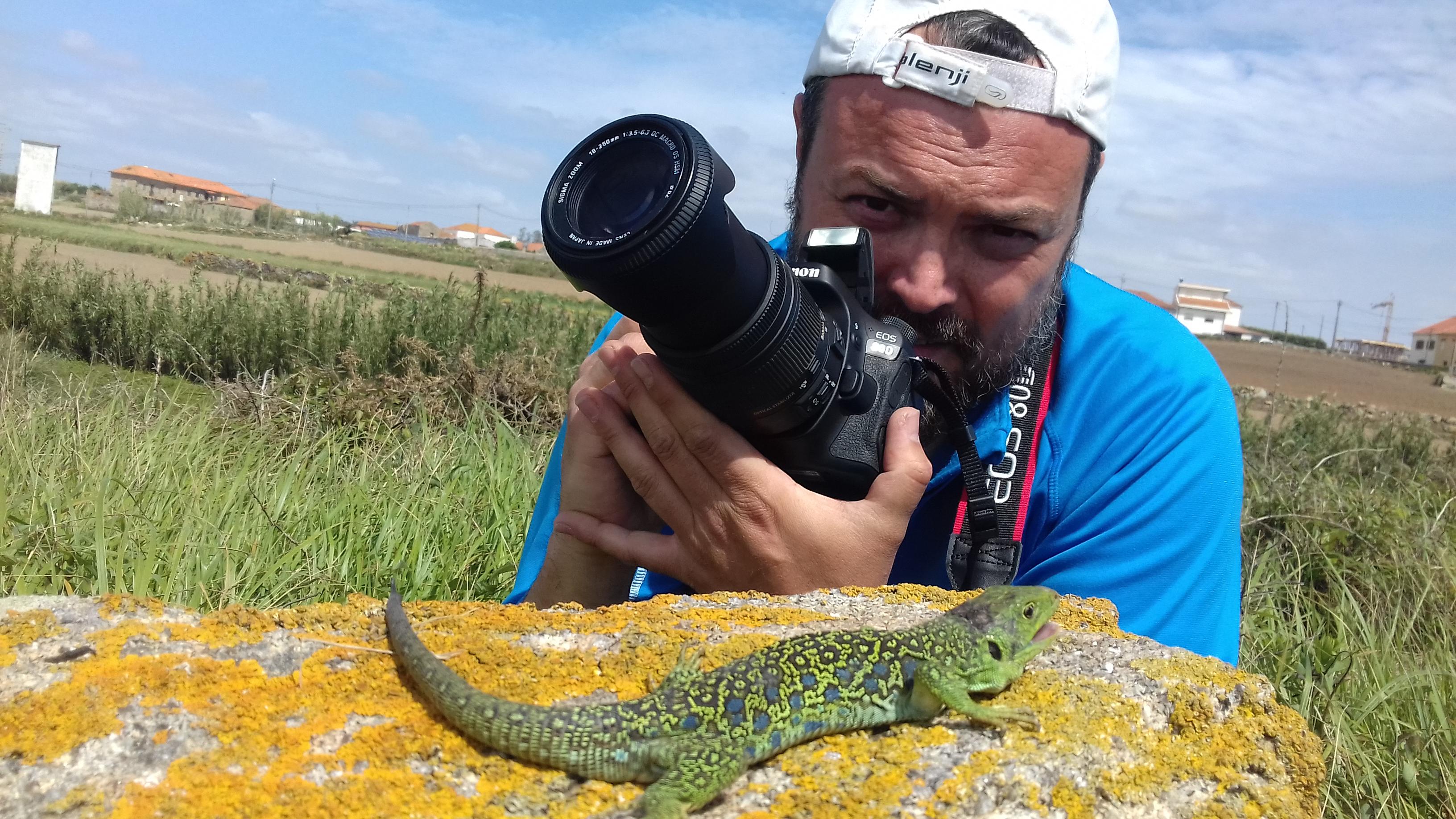 Timon lepidus reptiles de portugal