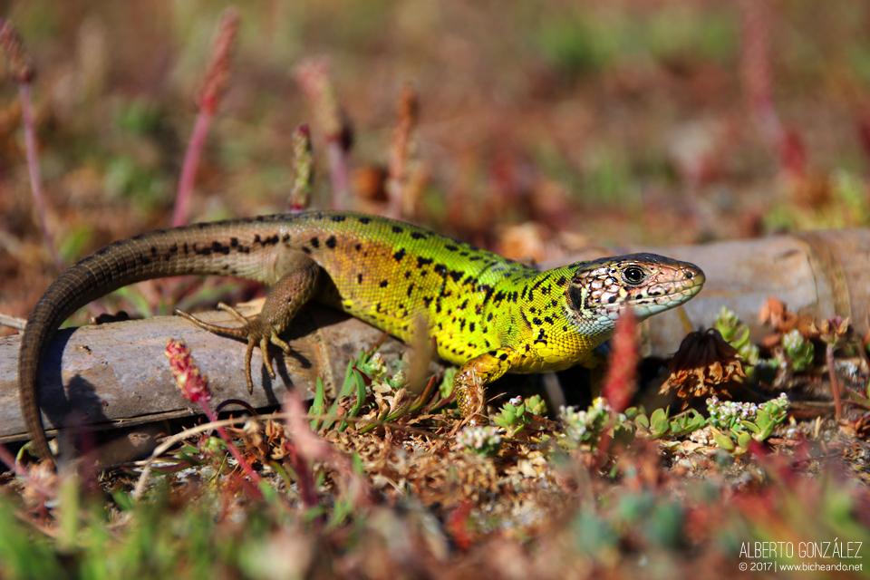 Hembra de lagarto verdinegro asoleándose en un tronco del suelo...