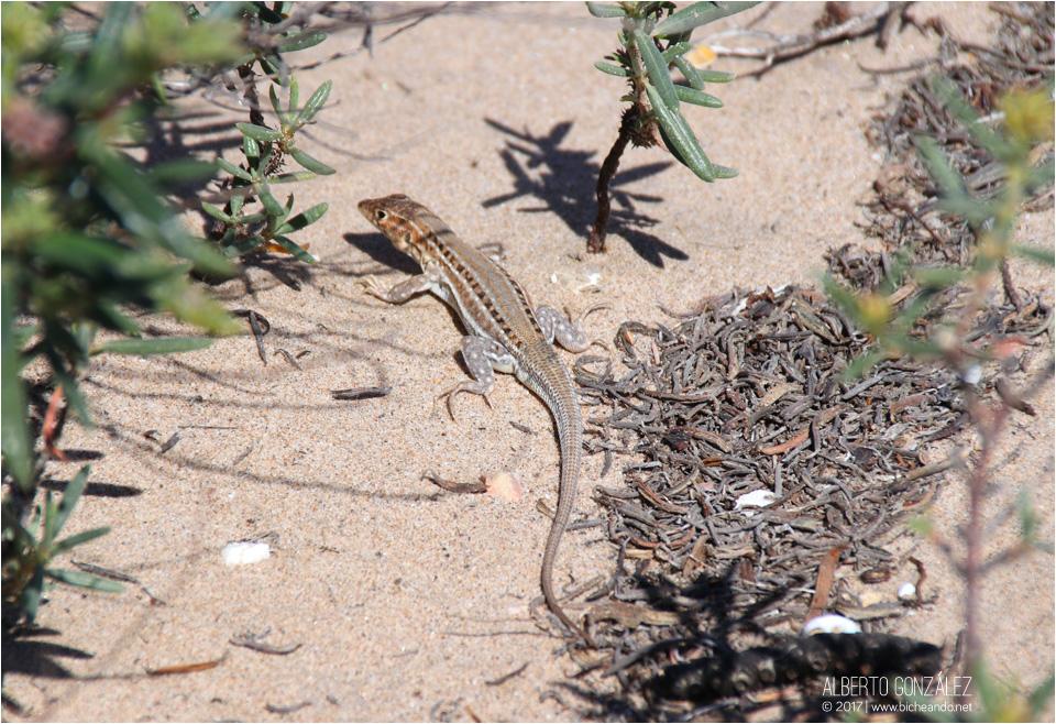 lagartija colirroja (Acanthodactylus erythrurus)