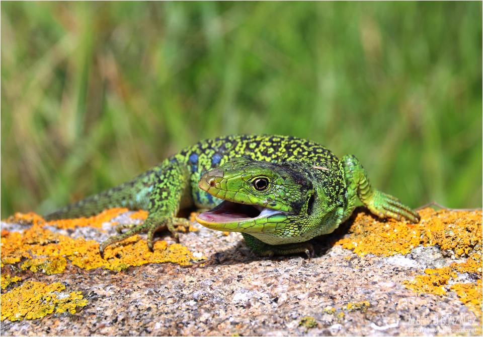 Macho de lagarto ocelado (Timon lepidus) en posición defensiva