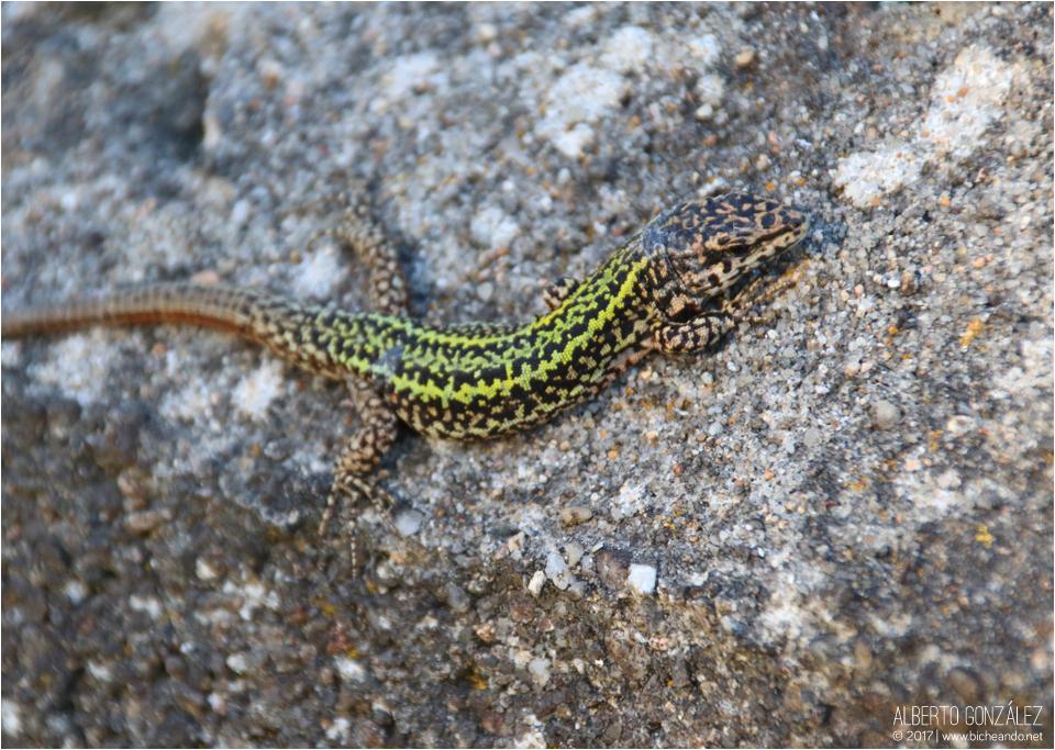 La lagartija gallega o de Bocage (Podarcis bocagei)