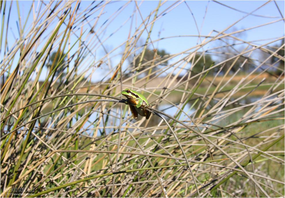 Rana de San Antonio en su hábitat...