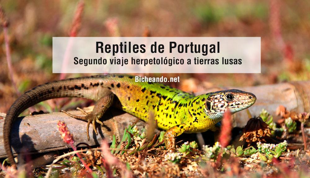 reptiles de portugal segundo viaje herpetologico