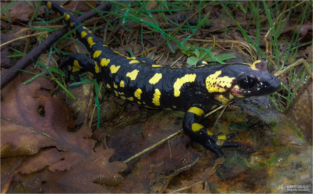 Salamandra s. bejarae en el norte del Parque Nacional de Cabañeros...