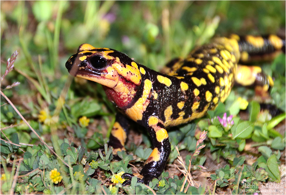 Salamandra común (Salamandra salamandra gallaica)