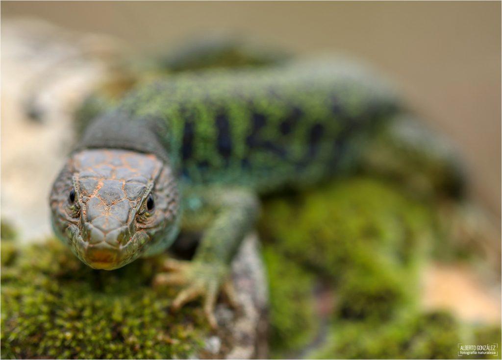 El lagarto ocelado (Timon lepidus, antes descrito como Lacerta lepida) es el mayor lagarto de toda Europa occidental. Su talla media es de entre 50 cm y 60 cm de longitud total (incluyendo la cola) aunque es una especie que, según algunos autores, puede alcanzar los 80 cm o 90 cm de longitud en algunos ecosistemas.