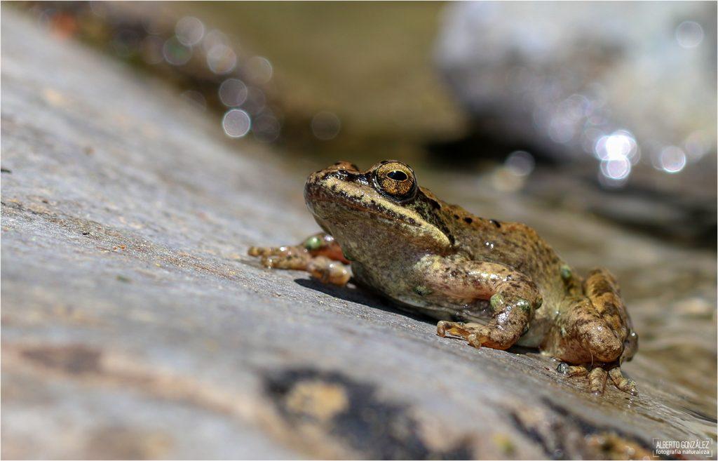 Rana pirenaica (Rana pyrenaica)