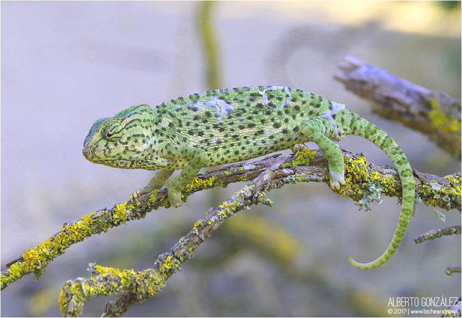 camaleón común (Chamaeleo chamaeleon)