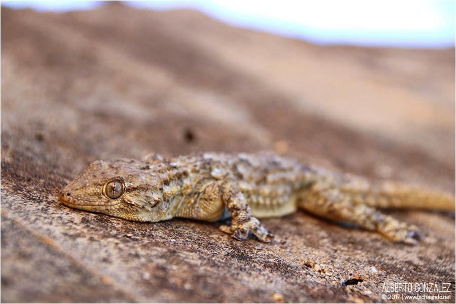 tarentola-maurantiaca-salamamquesa-comun
