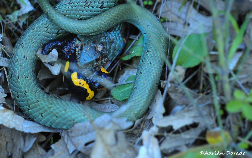Culebra de collar devorando una salamandra común