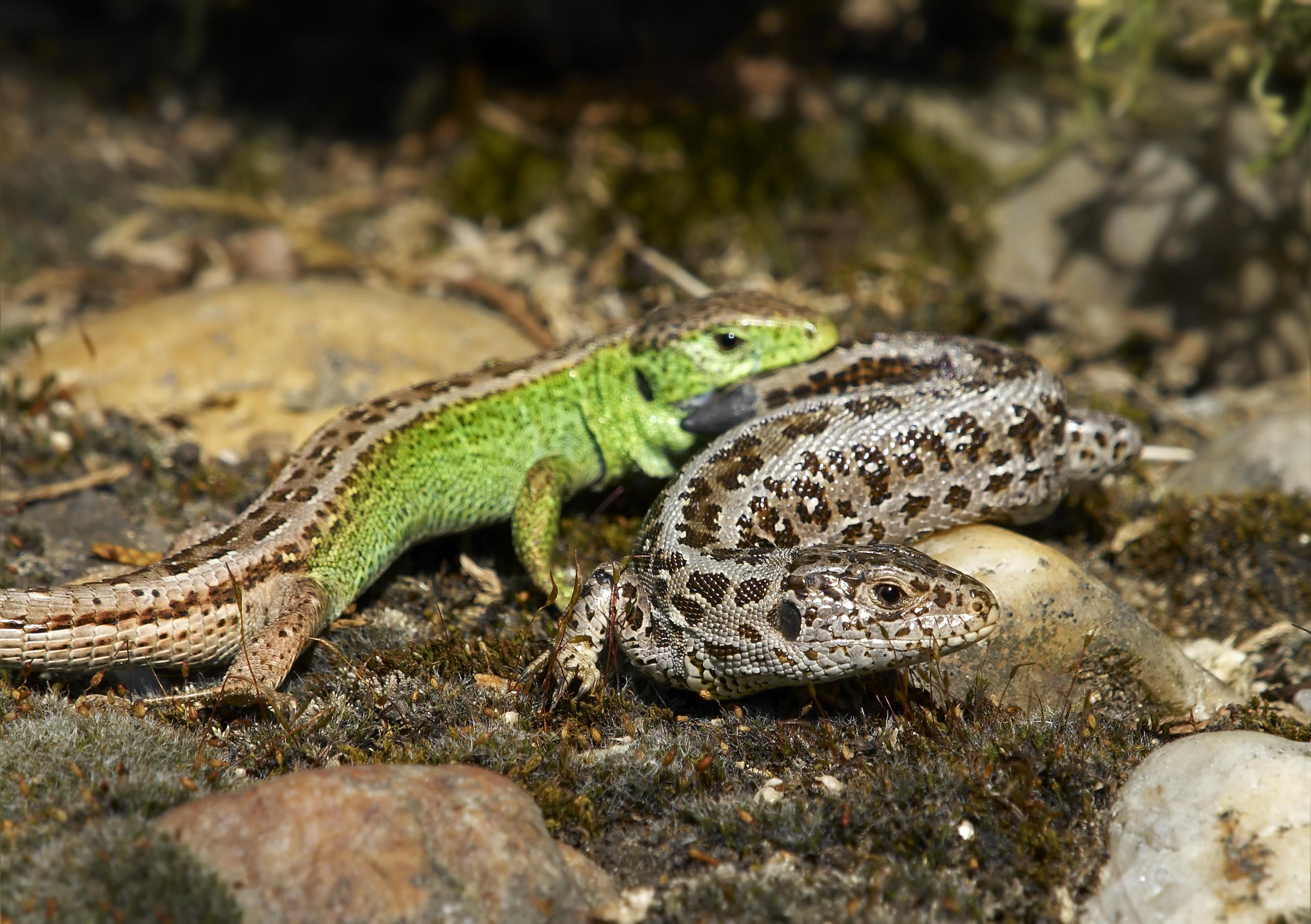 Lacertaagilis agilis macho y hembra