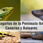 Los lagartos de la península ibérica, canarias y baleares.