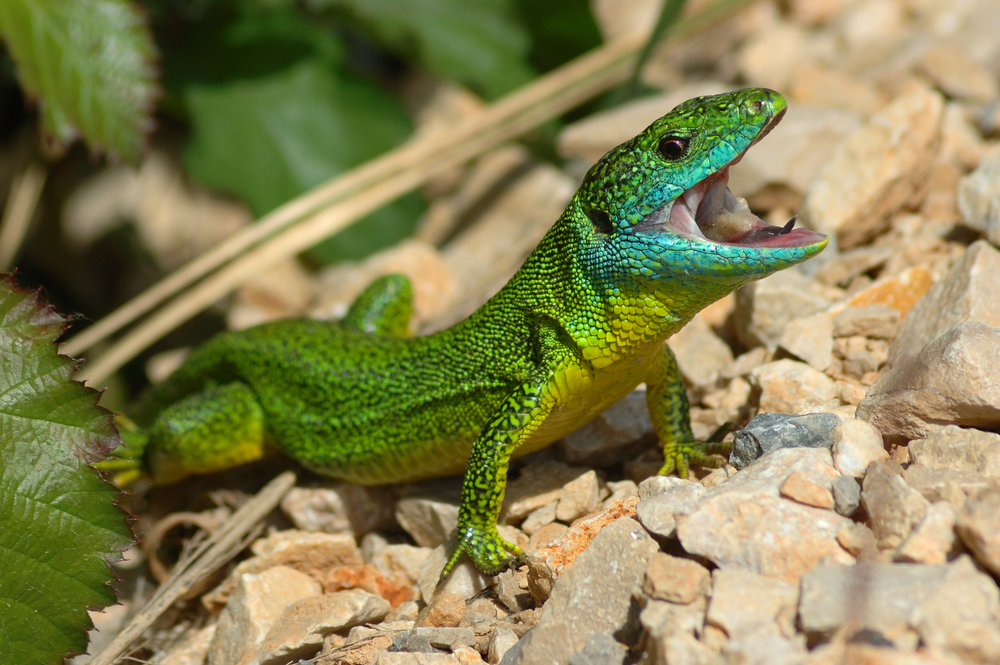 Lagarto verde occidental (Lacerta bilineata).