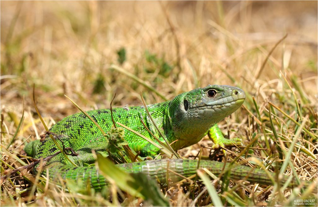 Lagarto verde occidental Lacerta bilineata