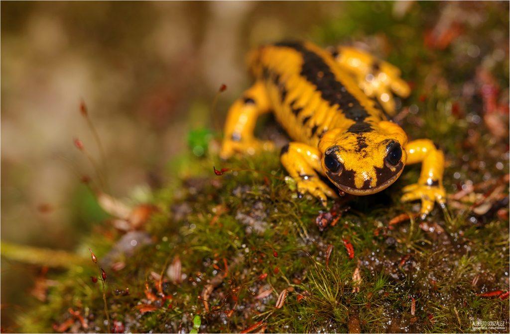 Salamandra s. bernardezi (Las Arenas)