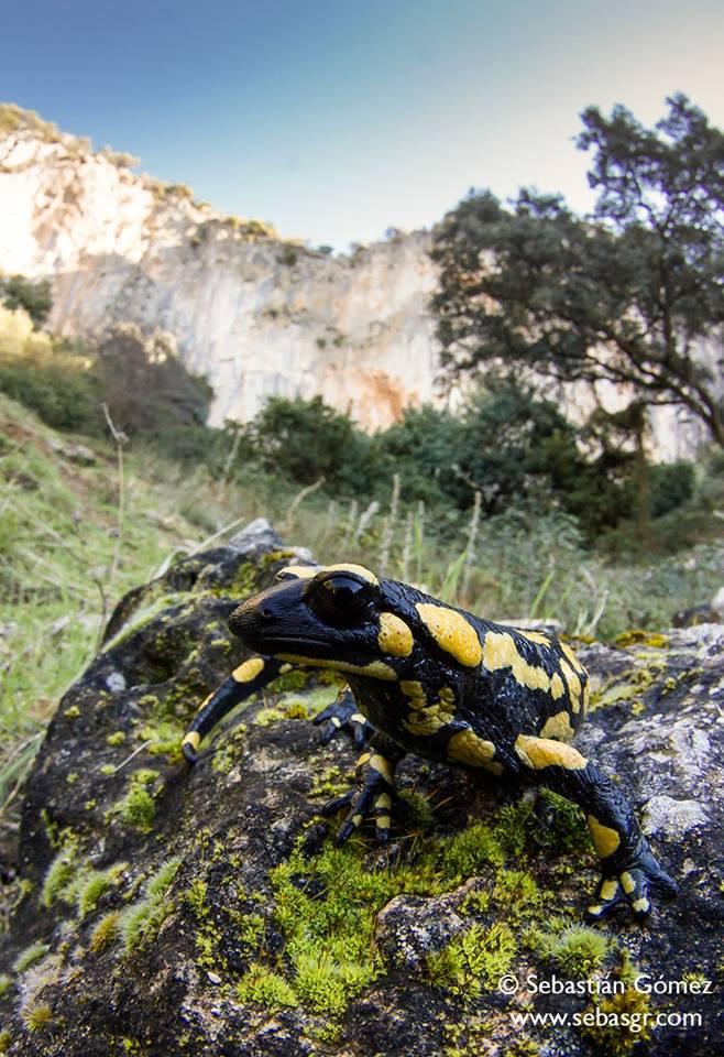 Salamandra salamandra longirostris. Créditos: Seba Gómez
