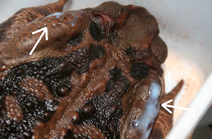 Secreciones de toxinas (péptidos) en las glándulas parótidas de un sapo.