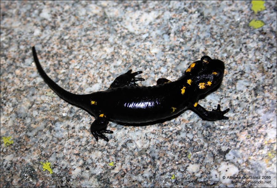 salamandra común melánica